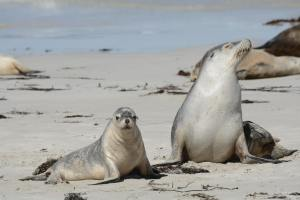 Australian sea lions on Kangaroo Island