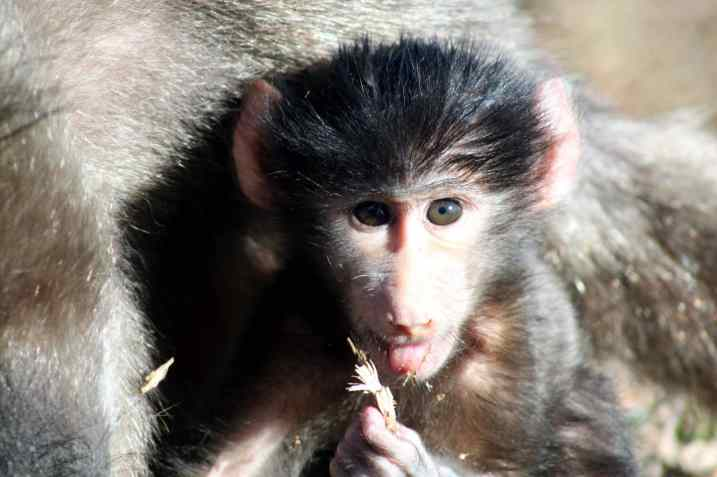 baboon, south africa, table mountain