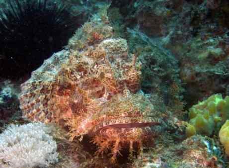 Huge Scorpionfish!