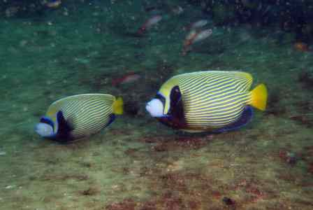 moz 12 tt emperor angelfish