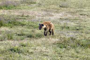 tan 12 cr hyena walking