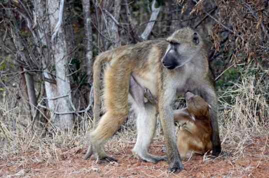 Baboon mama and baby.