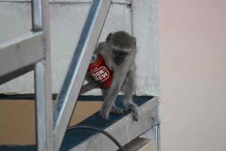A Velvet Monkey is thirsty!