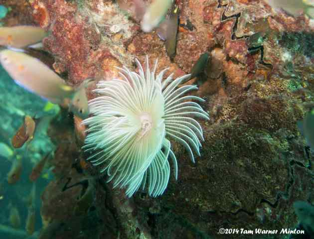 Gorgeous Disc Anemone, quite small.