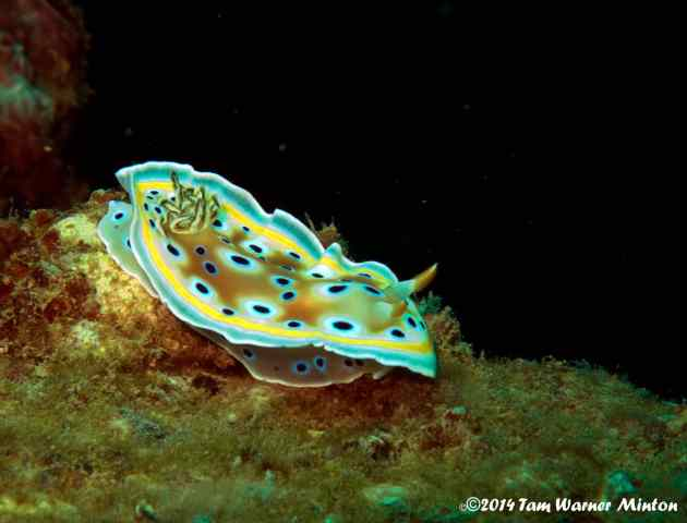 Colorful nudibranch, they are so small! Size of my pinkie...maybe.