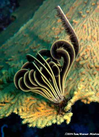 This is a colony of Feather Stars...so fascinating!