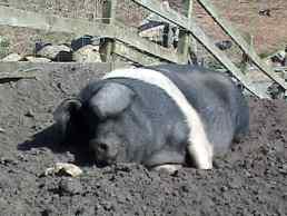Happy as a pig in mud, Greeb's Farm, Land's End