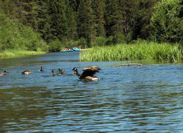 Geese on the Truckee River
