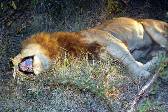 The King of the Jungle napping in Sabi Sands.
