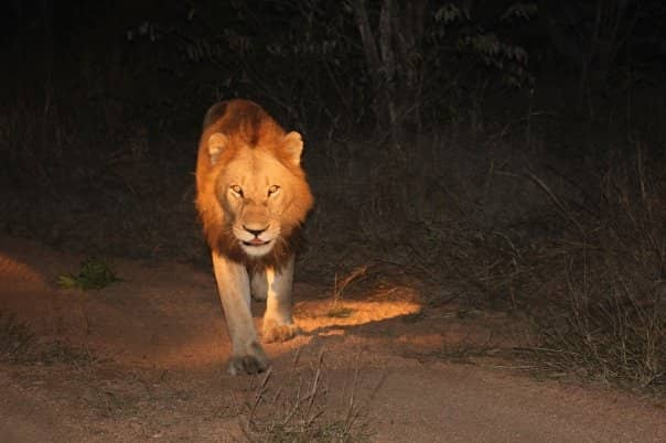 The King at night in Sabi Sands. Photo Credit to Alexandra Minton, The Purple Pebble Photography.
