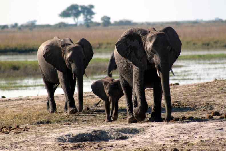 ally chobe 09 elephant fam