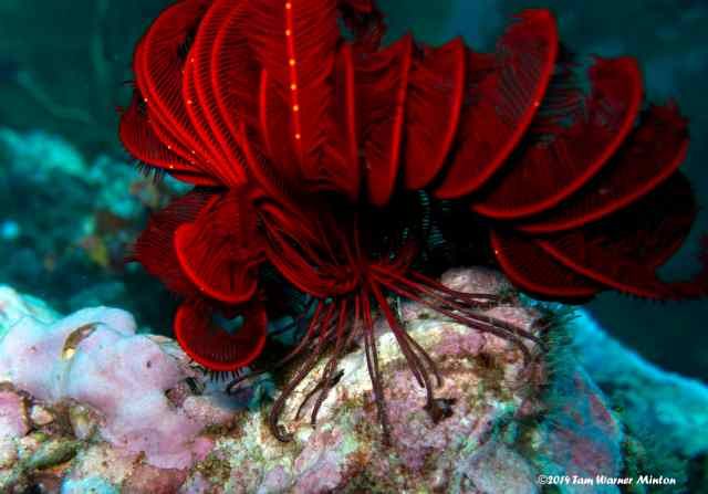 A glorious red Red Colony of Feather Stars