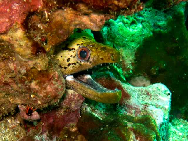 A fimbriated moray eel