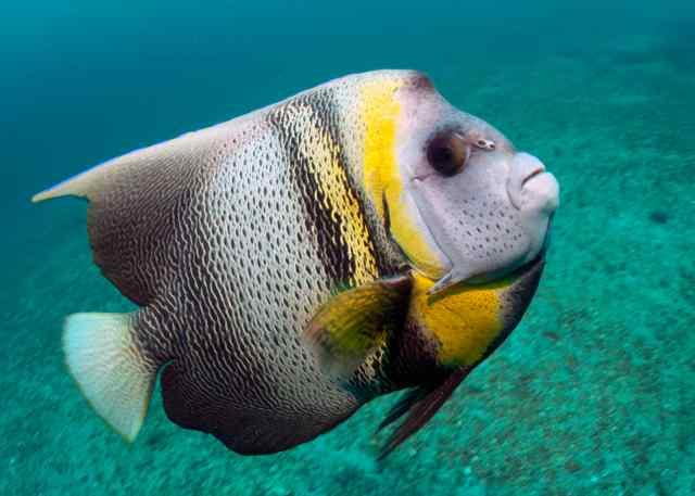 nn 14 13sep juv king angelfish