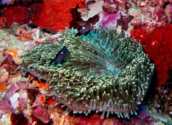 wr 14 caves humbug damsel in anemone