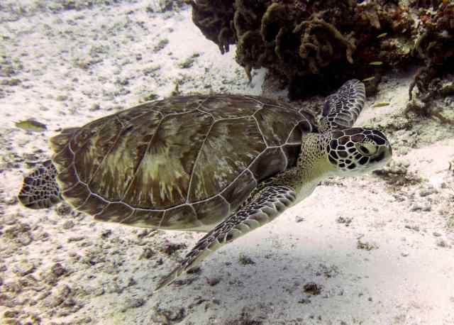 Beautiful Green Sea Turtle with a gorgeous shell