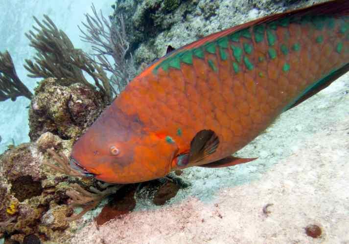 15 cp rainbow parrotfish