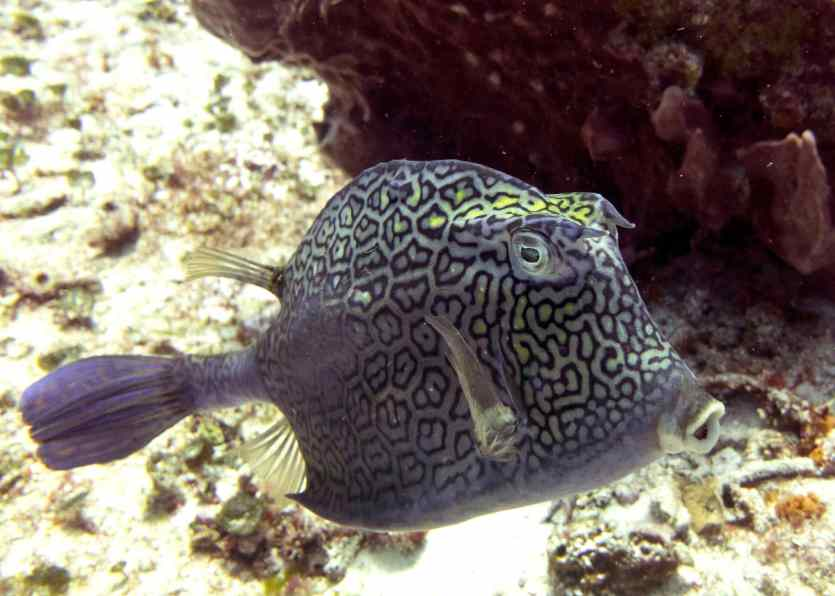 Gorgeous, shy Honeycomb Cowfish