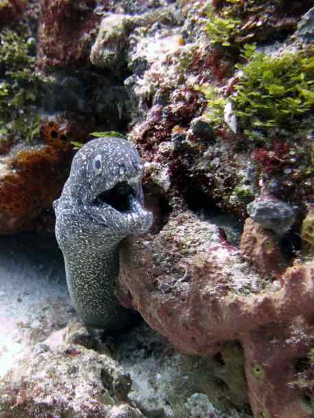 A very dark Spotted Moray Eel