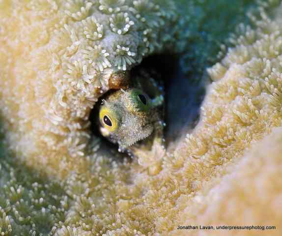 Spiny Head Blenny