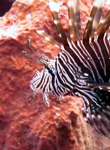 Sadly, there are huge lionfish on every site. They are invasive in the Caribbean.