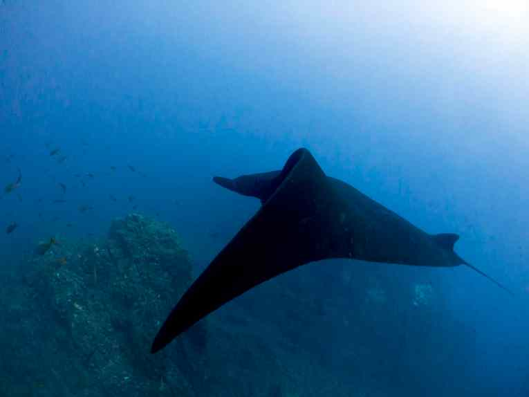 manta ray, scuba, diving