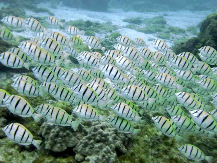 These are Convict Surgeonfish