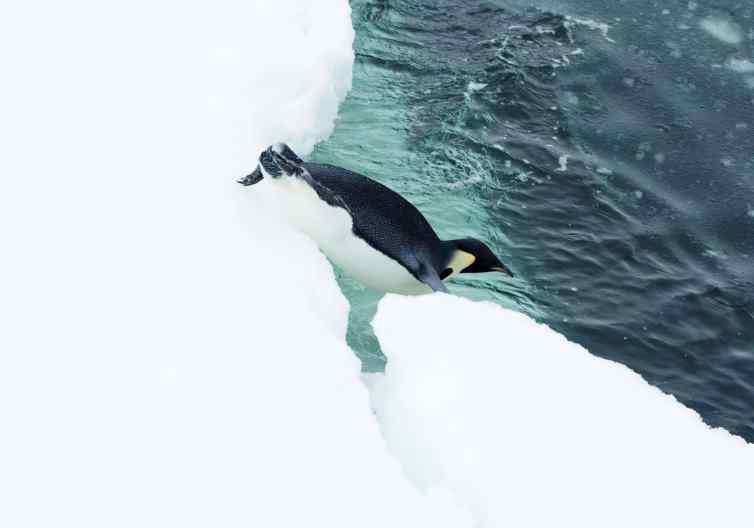 emperor penguin, antarctica, penguins, lindblad expeditions