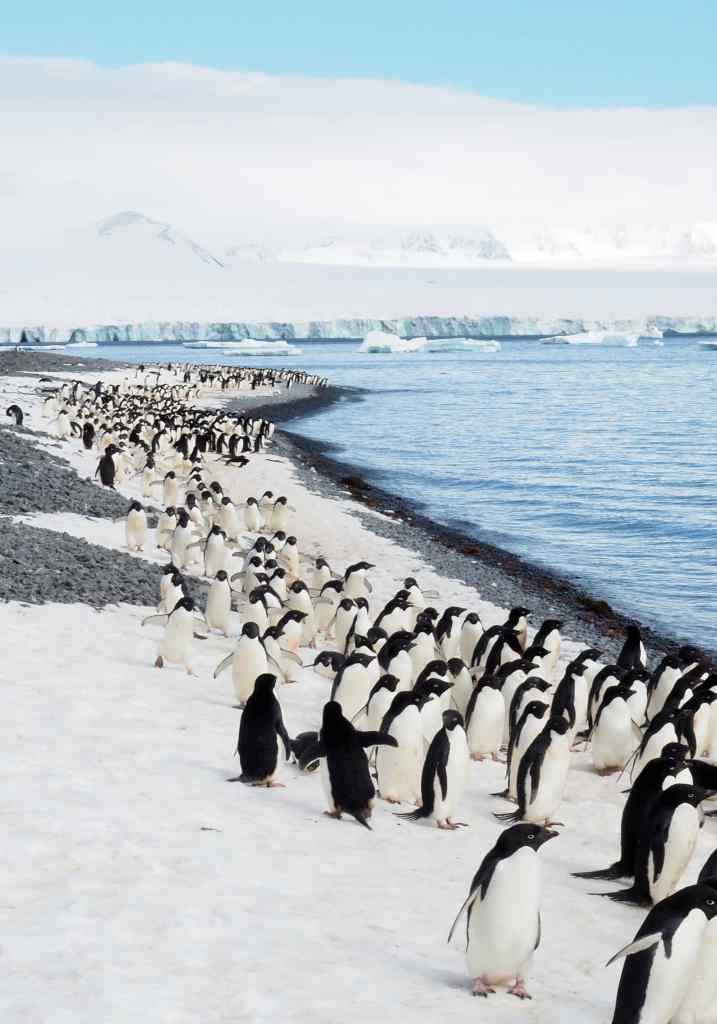 Adélie penguins were discovered in 1840 by scientists on the French Antarctic expedition led by explorer Jules Dumont d'Urville. D'Urville named Adélie Land, in southern Antarctica, after his wife, Adéle. Scientists Jacques Hombron and Charles Jacquinot also attributed this name to the species.