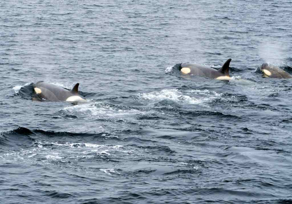 Orcas, Killer Whales , Ross sea, Antarctica