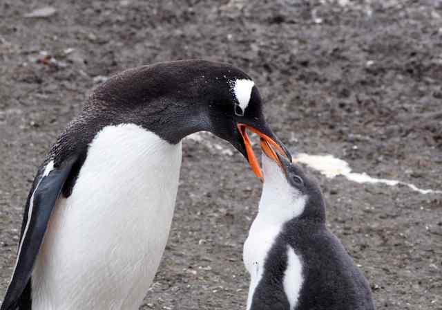 gentoos, penguins, antarctica