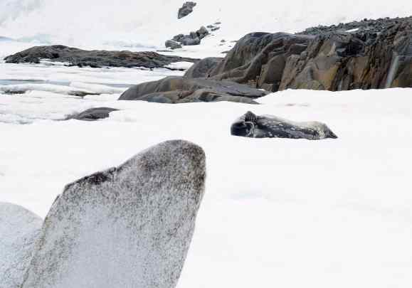 seals, antarctica, weddell, humpbacks