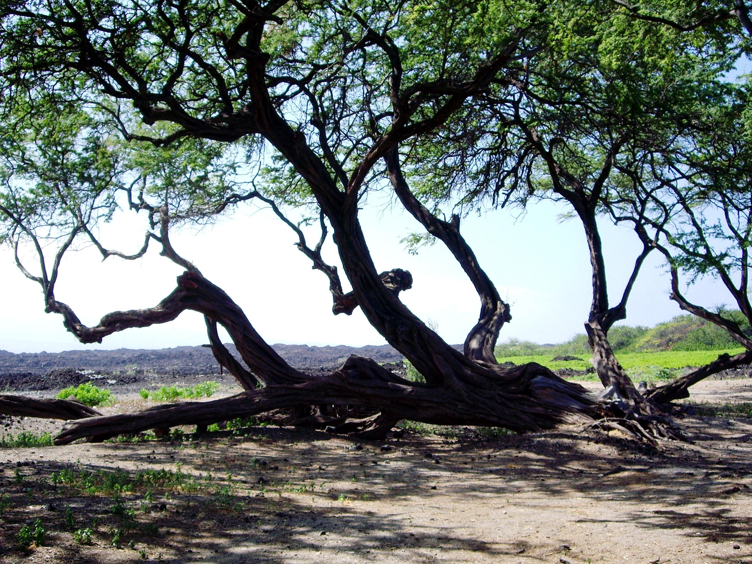 Kona Branches, Hawaii