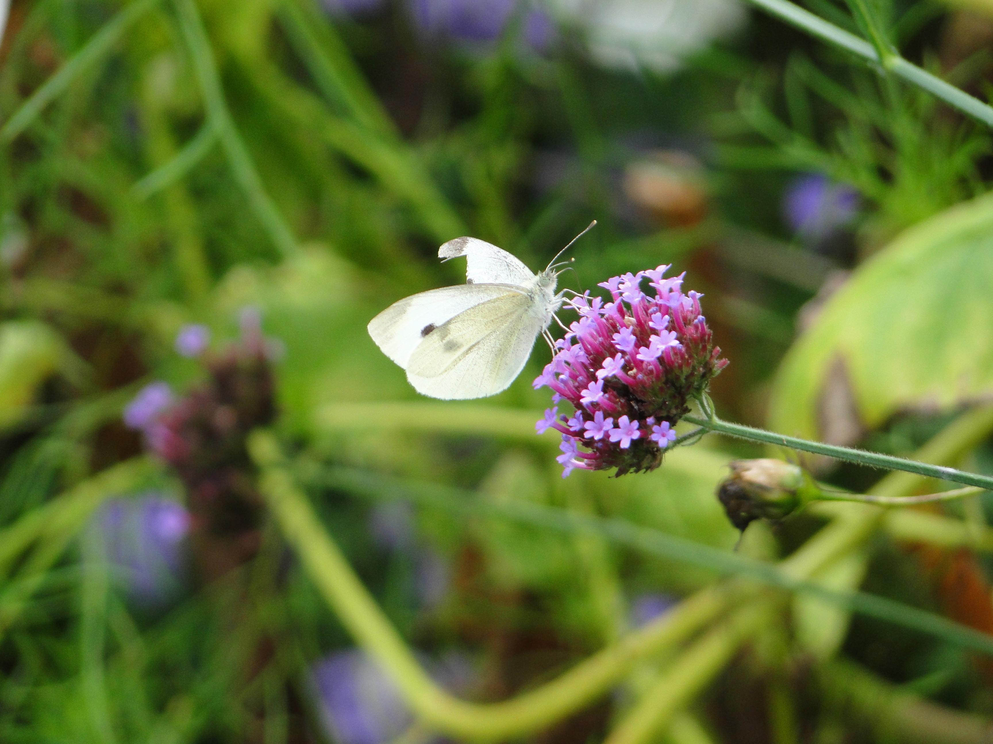 Dutchess County Butterfly. Stanfordville, NY