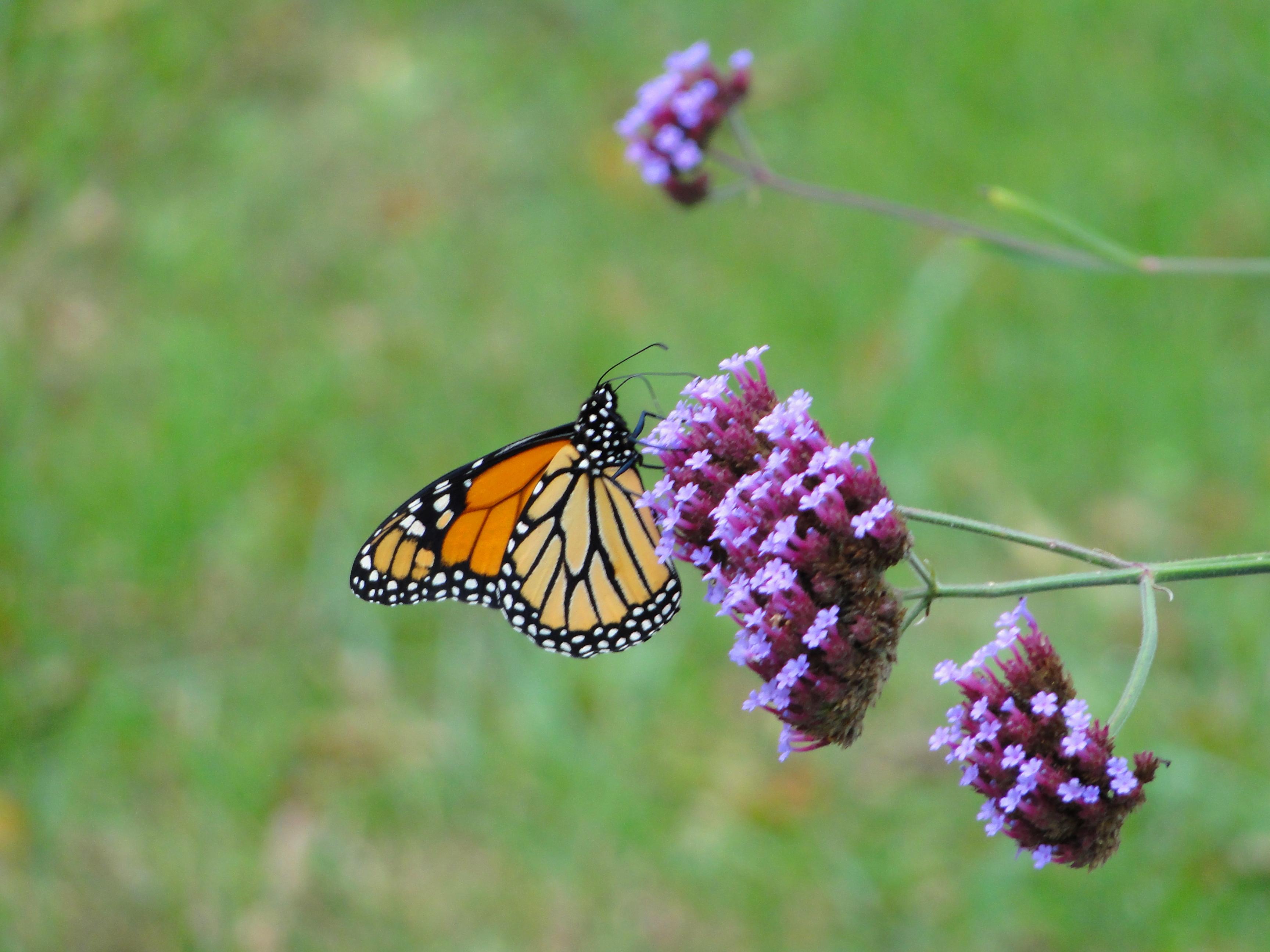 Dutchess County Butterfly on Flower. Stanfordville, NY