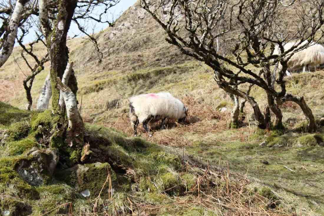 sheep in highland scotland