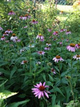 multiple pink cone flowers