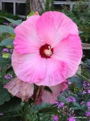 hibiscus (I think)