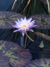 water lilies at Como Park