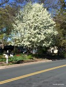 beautiful white blooming tree