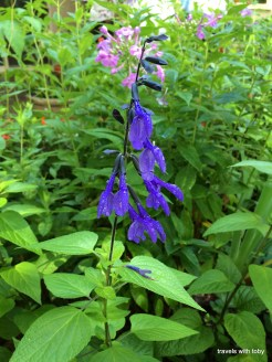 Wild salvia, another stunning color