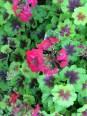 geranium up close