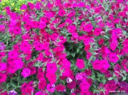 more pink petunias