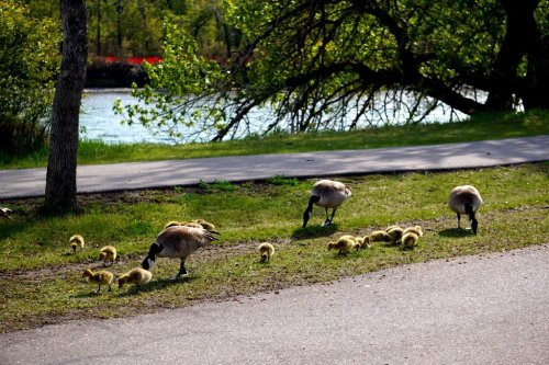 Family Canada Goose