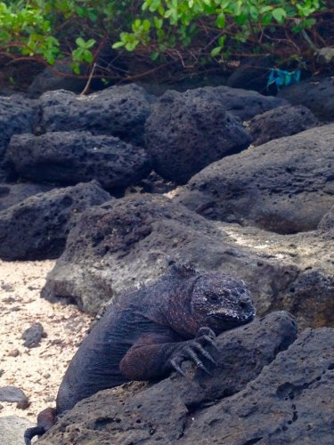 Galapagos islands marine iguanas