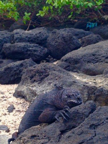 Galapagos islands marine iguanas