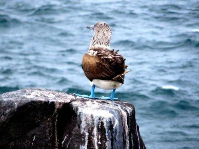 Galapagos Island Blue Footed Booby