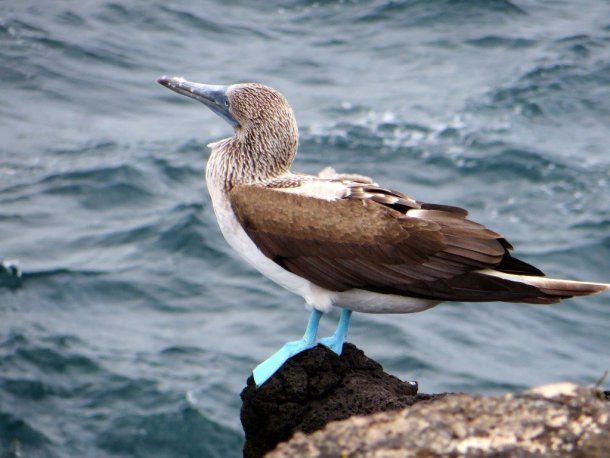 Blue Footed Booby on the Galapagos Islands