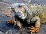 Iguana in the park Guayaquil Ecuador