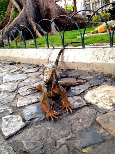 Iguana at Seminaro Park